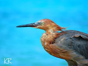 bonaire in march Reddish Egret