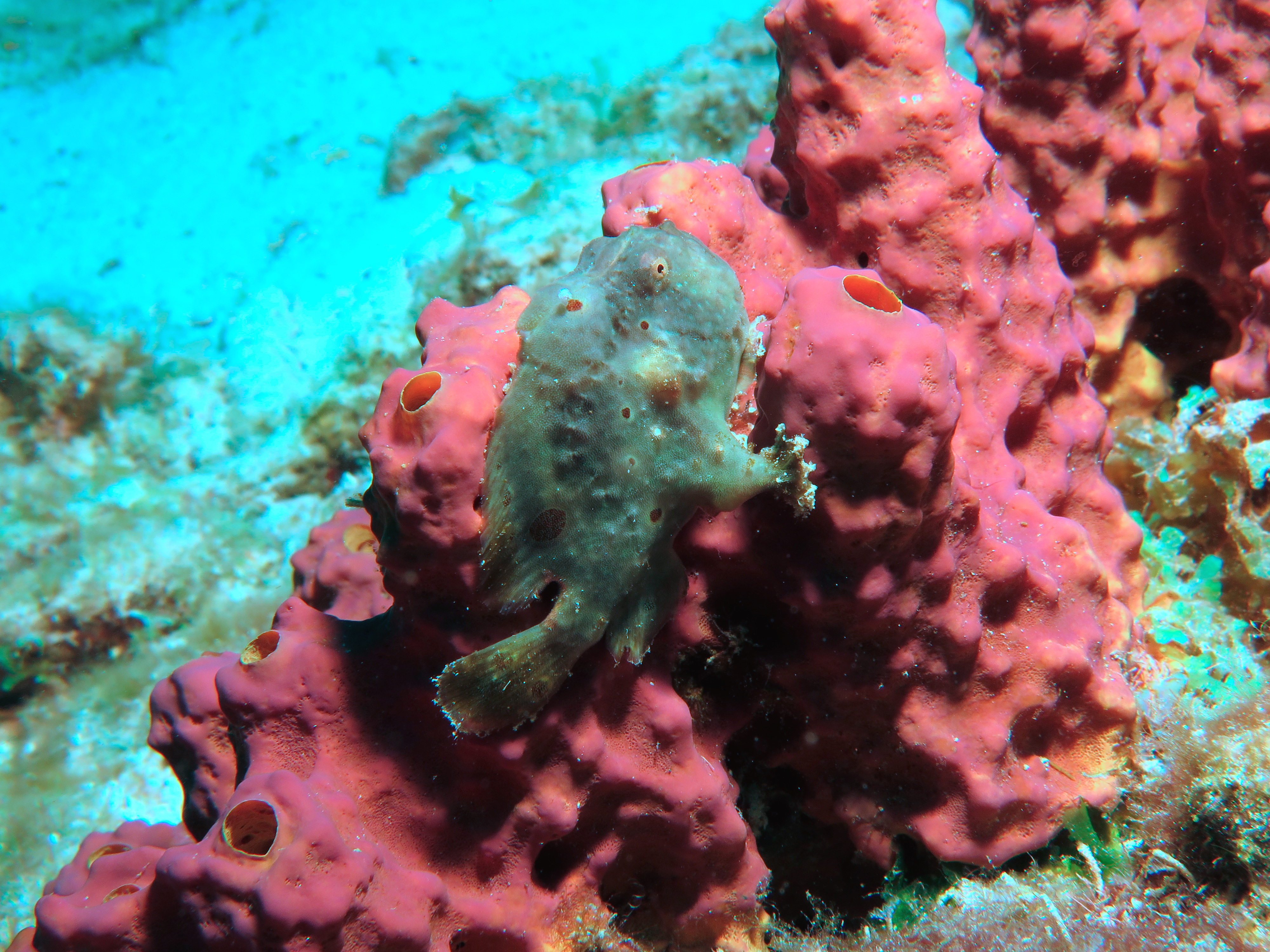 SS 2 Frogfish 7